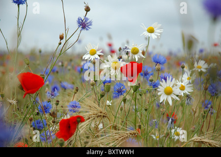 colorful wild flowers as daisy, cornflower, poppy on meadow at summer - Stock Photo
