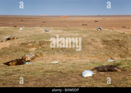 Grey Seals; Halichoerus grypus; Donna Nook; Lincolnshire - Stock Photo