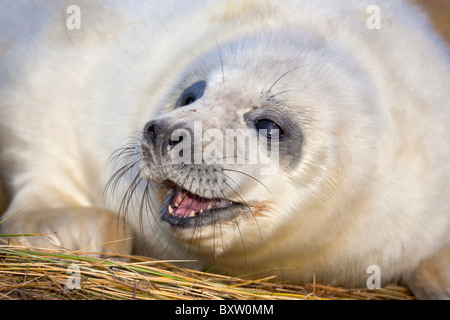 Grey Seal; Halichoerus grypus; pup; Donna Nook; Lincolnshire - Stock Photo