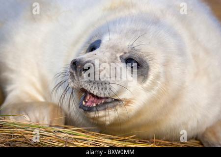 Grey Seal; Halichoerus grypus; pup; Donna Nook; Lincolnshire