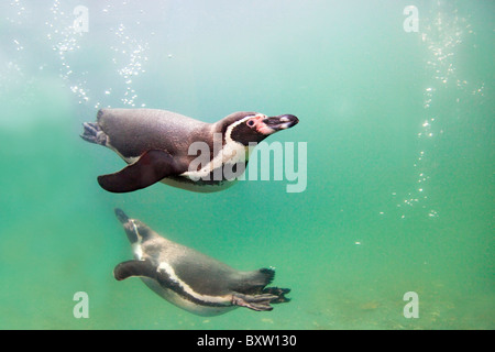 Humboldt Penguins; Spheniscus humboldti; in a pool at the National Seal Sanctuary; Cornwall - Stock Photo