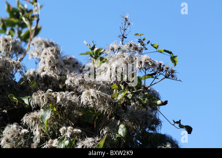 Old Man's Beard or Clematis vitalba in the English hedgerow. - Stock Photo