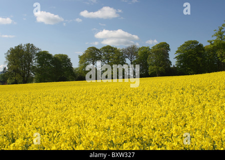 Trees bordering a rapeseed field on a sunny day in May - Stock Photo