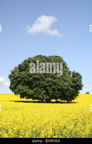 Tree in a rapeseed field on a sunny day in May - Stock Photo