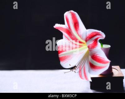 White and red Amaryllis in pink Vase.Pastel - Stock Photo