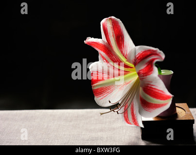 White and red Amaryllis in pink Vase. - Stock Photo