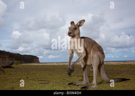 Australia, New South Wales, Murramarang National Park, Eastern Gray Kangaroo on beach - Stock Photo
