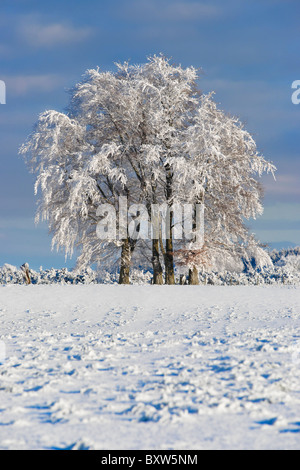 Trees on skyline covered in snow and hoar frost. Near Balfron, Stirling, Scotland, UK - Stock Photo
