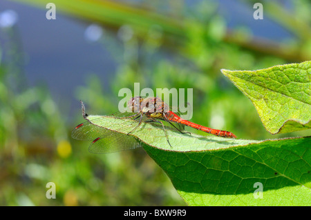 Common Darter Dragonfly (Sympetrum striolatum) male resting on leaf, Oxfordshire, UK - Stock Photo