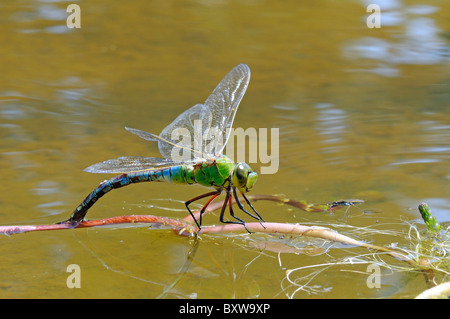 Emperor Dragonfly (Anax imperator) female laying eggs in vegetation at water surface, Oxfordshire, UK. - Stock Photo