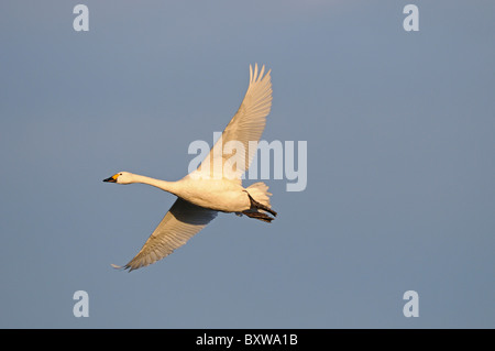 Bewick's Swan (Cygnus columbianus) adult in flight, Slimbridge, UK. - Stock Photo
