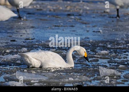 Bewick's Swan (Cygnus columbianus) adult feeding amongst ice, Slimbridge, UK. - Stock Photo