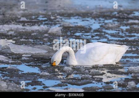 Bewick's Swan (Cygnus columbianus) feeding amongst ice, Slimbridge, UK. - Stock Photo