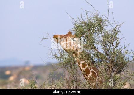 Reticulated Giraffe (Giraffa camelopardalis reticulata) adult bull eating in close-up - Kenya, Samburu National - Stock Photo