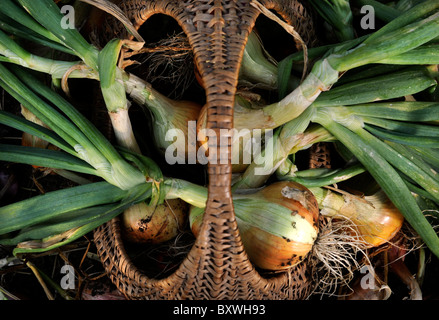 A crop of freshly pulled onions in a wicker basket from an English garden UK - Stock Photo