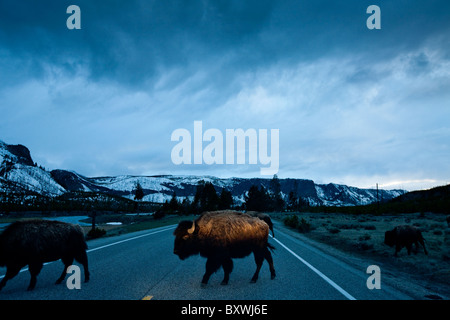 USA, Wyoming, Yellowstone National Park, Bison Herd steps into car headlights while crossing park road at dusk on - Stock Photo