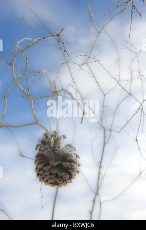 pine cone hanging on tree, Christmas ornament, winter. - Stock Photo
