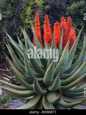 Aloe succotrina - Orange flowers on Aloe Vera in Southern California - Stock Photo