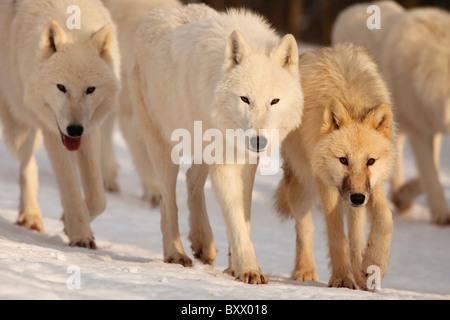 Arctic Wolves; Canis lupus arctos - Stock Photo