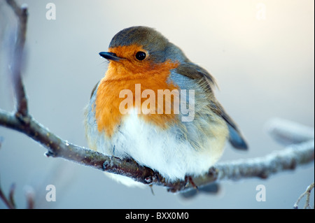 Robin ( Erithacus rubecula ) perched on small branch in winter. - Stock Photo