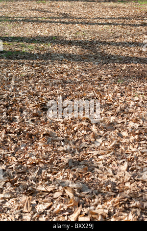 Tree branches cast shadows on the ground covered in dead leaves - Stock Photo