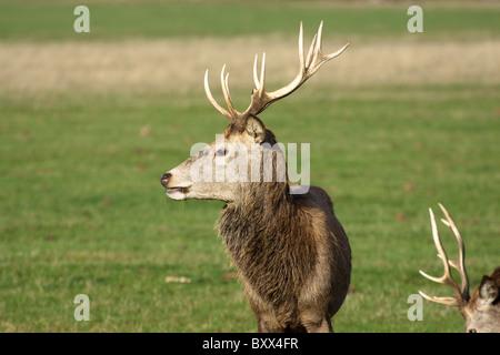 Red deer stag, Cervus elaphus, Richmond park, London, England, UK - Stock Photo