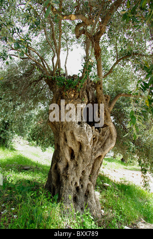 Centuries-old olive tree on the island of Thassos Greece - Stock Photo