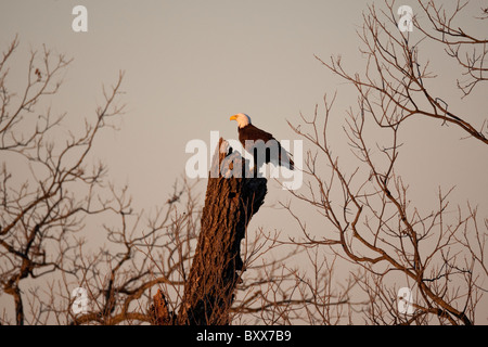 American bald eagle (Haliaeetus leucocephalus) perches in a pecan tree in rural Burnet County in central Texas - Stock Photo