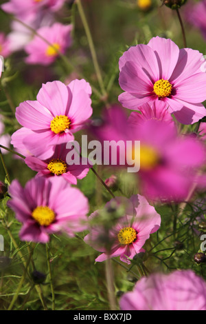 Norton Priory Museum & Gardens. Early autumnal close up view of purple cosmos in full bloom at Norton Priory Walled - Stock Photo
