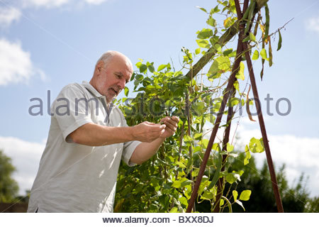 A senior man looking at runner beans on an allotment - Stock Photo
