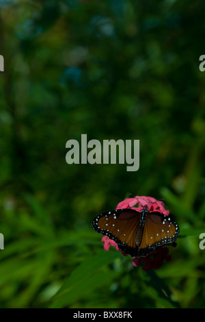 Monarch butterfly resting on pink flower, green leaf background - Stock Photo