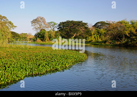 Floating Water Hyacinth Eichhornia Crassipes in Lake Nicaragua, in the bay of Granada, Nicaragua, Central America - Stock Photo