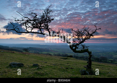 Hawthorn tree on Dartmoor shaped by the elements with dusk sky in the background, Dartmoor, Devon UK - Stock Photo