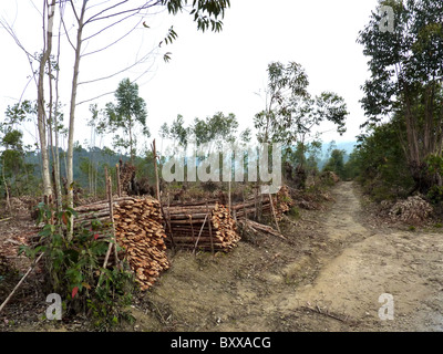 MADAGASCAR  Eucalyptus trees harvested for cooking and brick furnaces replace native species in many areas. Photo - Stock Photo