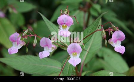 Five pink flowers of Himalayan Balsam (Impatiens glandulifera), England, UK - Stock Photo
