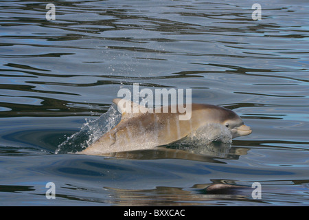 Young Bottlenose Dolphin (Tursiops truncatus) showing vertical lines called fetal folds, Moray Firth, Scotland, - Stock Photo