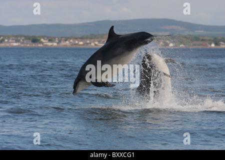 Two adult Bottlenose Dolphins (Tursiops truncatus) breaching, Moray Firth, Scotland, UK - Stock Photo
