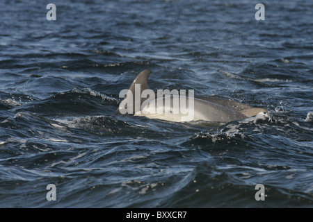Young Bottlenose dolphin calf (Tursiops truncatus) surfacing next to its mother, Moray Firth, Scotland, UK - Stock Photo