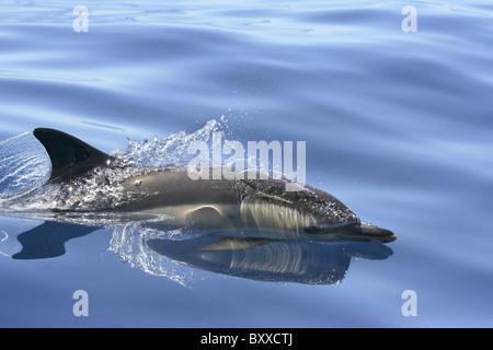 Adult Common Dolphin (Delphinus delphis) surfacing in the Atlantic Ocean, Azores, Portugal - Stock Photo