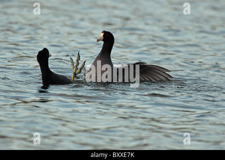 American Coots trying to gain the upper foot during a fight. - Stock Photo