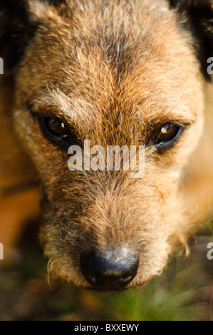 Close up of Border terrier cross Lakeland terrier's head gazing up at camera - Stock Photo