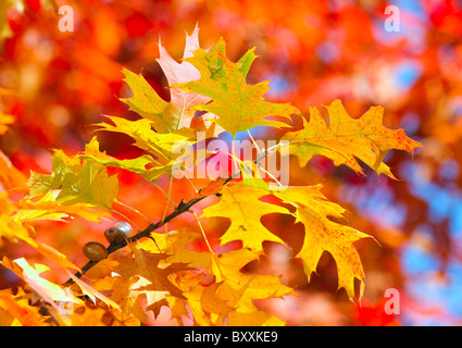 Autumnal colored leaves - Stock Photo