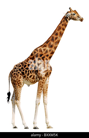giraffe (camelopardalis) side view isolated on white background - Stock Photo