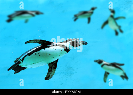 Humboldt penguin (Spheniscus humboldti) swimming under blue water - Stock Photo