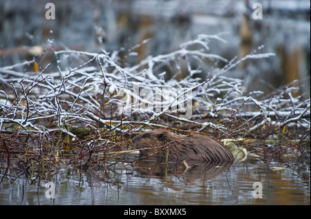 A beaver feeding on his winter food supply - Stock Photo