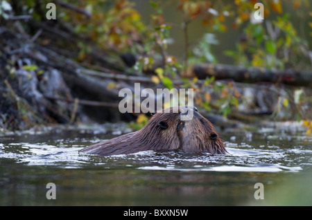Two beavers playing in their beaver pond close to the beaver lodge. - Stock Photo
