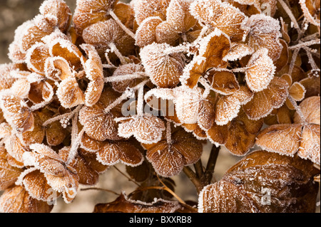 Faded Hydrangea flowers covered in hoar frost in winter - Stock Photo