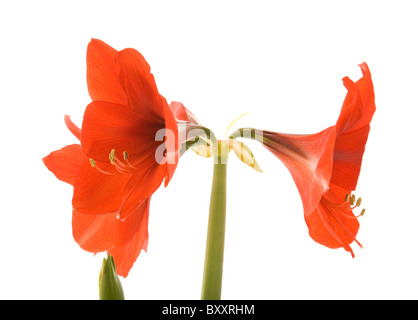bright red Hippeastrum (usually called Amaryllis); isolated on white - Stock Photo