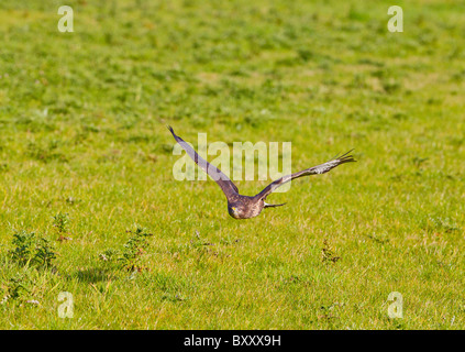 Common Buzzard ( Buteo buteo ) in flight over meadow - Stock Photo