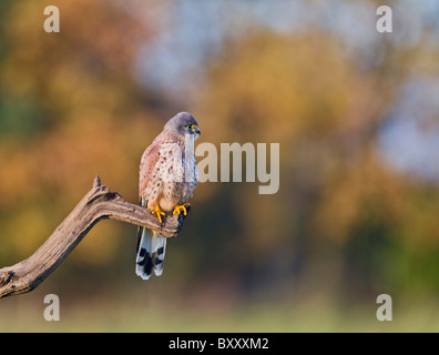 Kestrel ( Falco tinnunculus ) male on branch - Stock Photo